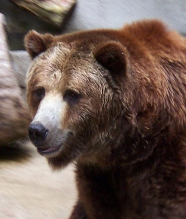 เรามารู้ถึงสายพันธุ์ของหมีกันเถอะค่ะ