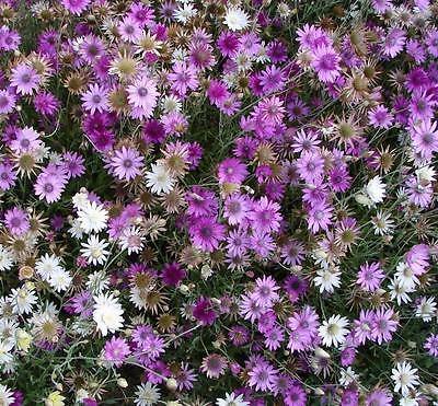 ดอกอิมมอร์เทล 20 เมล็ด/ชุด