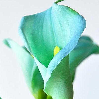 Calla Lily seeds เมล็ดลิลลี่ ( สีฟ้าอ่อน) / 10 เมล็ด