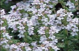 ดอกอิงลิช วินเทอร์ ไทม์ (english winter thyme) 100 เมล็ด